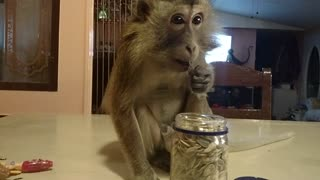 Intelligent Monkey Retrieves Sunflower Seeds  - Video