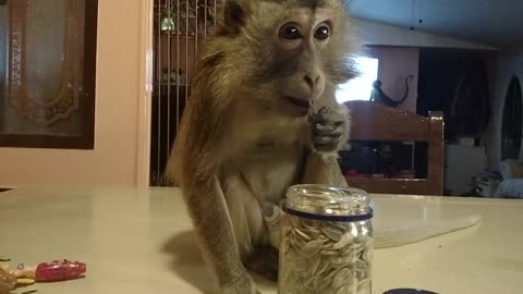 Intelligent Monkey Retrieves Sunflower Seeds