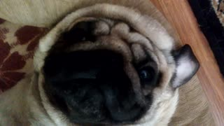 Pugs Are Inherently Lazy - Video