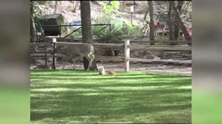 Deer Being Attacked by Squirrel?