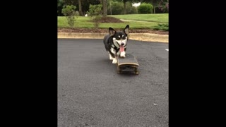 Skateboarding Corgi shows off mad skills - Video