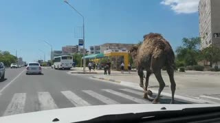 Camel Walks Down Busy Street