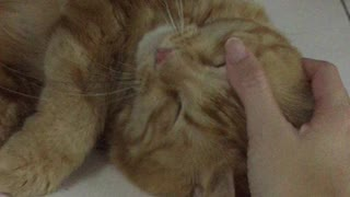 Cat enjoying petting time - Video
