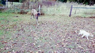 Excited puppy gets zoomies with Great Dane - Video