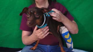 Bambi | Miniature Pinscher Puppy - Video