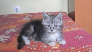 Maine-Coon Kittens