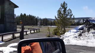 Opening day of Yellowstone. Old faithful lodge. Woman approaches and pets Bison. - Video