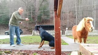 Doberman Pinscher Learning Tricks  - Video