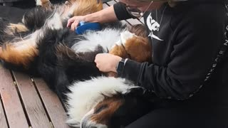 Bernese Mountain Dog lies still for relaxing spa time