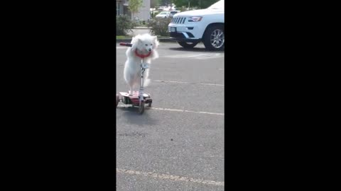 Dog casually rides 3-wheeled scooter with ease