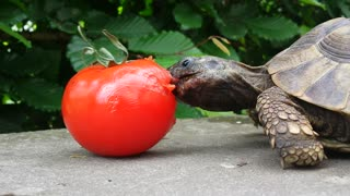 Tortoise chows down on delicious tomato - Video