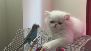 Curious White Persian Kitten befriends parrot - Video