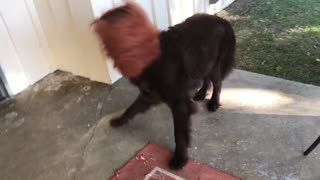 Samson the Newfoundland hates his Halloween costume - Video