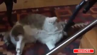 When Cats Play with Vacuum Cleaner - Video