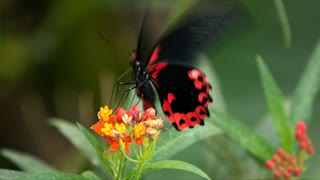 Black and red butterfly fluttering on a flower
