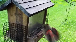 Cardinal Flight in Slow Motion