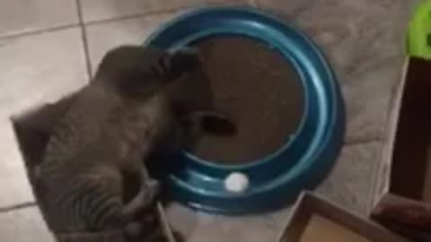 Cat in a shoe box obsessed with new toy