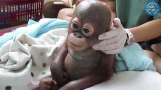 Crying baby orangutan receives loving care after suffering year of neglect - Video