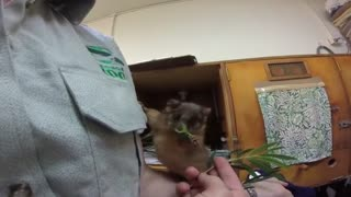 Sydney's Taronga Zoo rescues an orphaned possum - Video