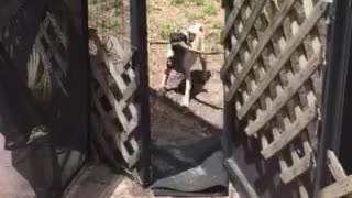 Frustrated pug can't fit stick through door - Video