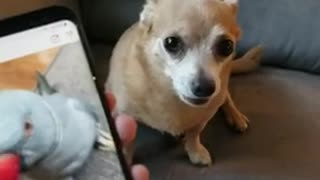 My doggie friend reacts to me whining