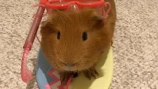 Guinea pig is totally ready for the beach - Video