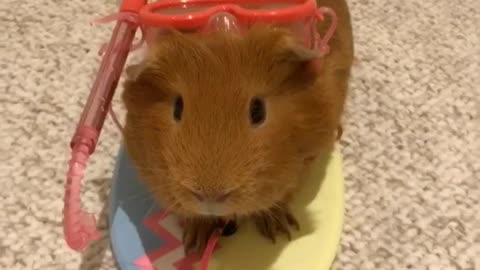 Guinea pig is totally ready for the beach