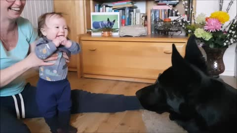 The shepherd dogs love the little one.