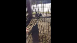 Husky's reaction when it's time for a walk - Video
