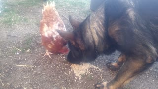 Thorin German Shepherd vs. chicken Gertrude
