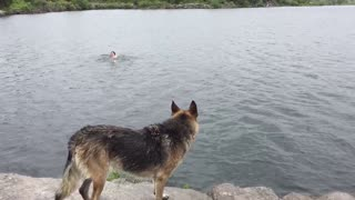 German Shepherd trained to rescue owner from lake