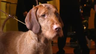 Westminster dog show to feature two new breeds - Video