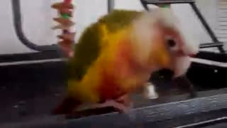 Bandit The Parrot Dancing - Video