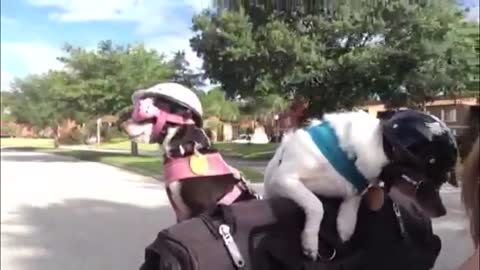 Chihuahua's Riding A Harley