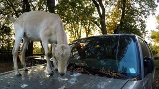 Goat Climbs Onto SUV To Reach Tasty Leaves