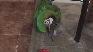 Macaw plays fetch  - Video