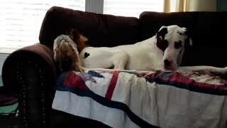Great Dane puts little dog in its place for unwanted advances