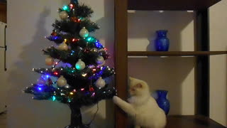 Cat not fond of Christmas tree - Video