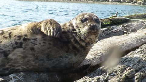 Lazy Sun tanning Seal waves back to local kayaker
