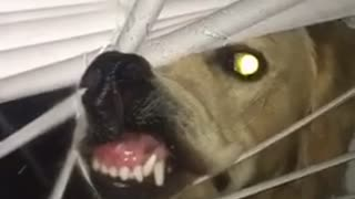 Golden Retriever makes ridiculous face through the window