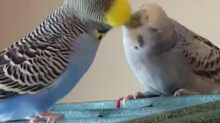 Parakeets in love can't stop kissing - Video