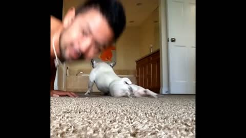 Cute Frenchie Does Push-Ups With Her Owner