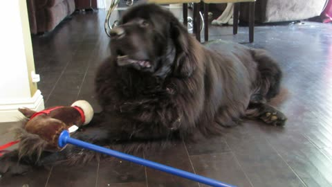 Guilty Newfoundland Ate A Cupcake, Wants His Owner To Let It Go