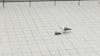 The Seagull and the Pigeon - Video