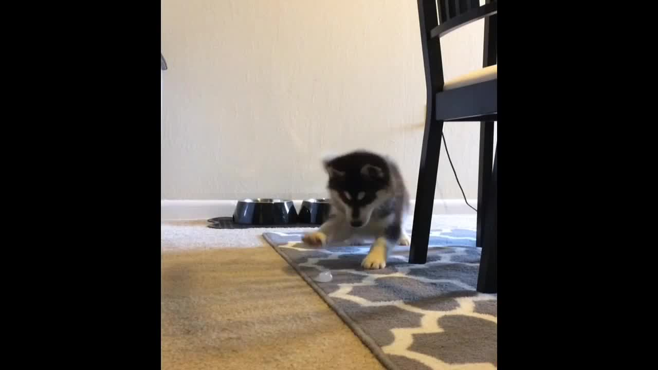 Husky Puppy Adorably Plays With An Ice Cube
