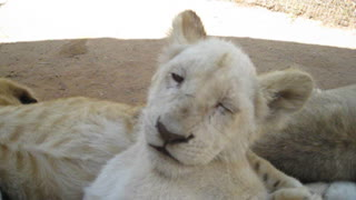 Rare white lion cub struggles to stay awake