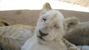 Rare white lion cub struggles to stay awake - Video