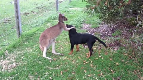 Amazing : Kangaroo and Dog showing their love for each other