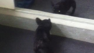 French Bulldog puppy challenges mirror reflection - Video