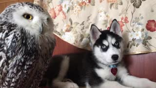 Pet owl befriends husky puppy - Video